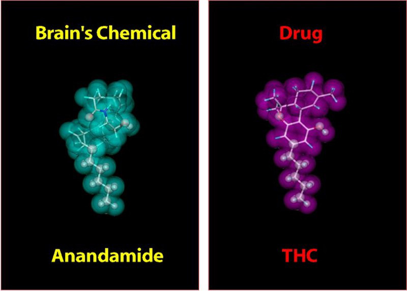 Note the similar molecular shape of endogenous cannabinoid - anandamide, and phytocannabinoid THC