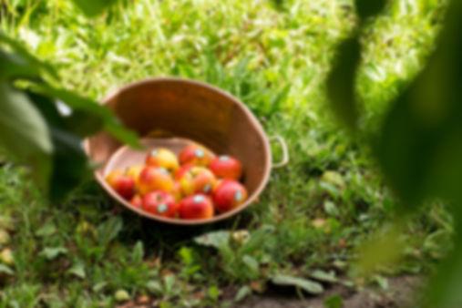 récolte pomme antarès