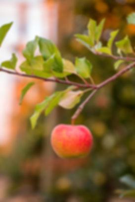 pomme antarès vergers de la blottière - reportage photo