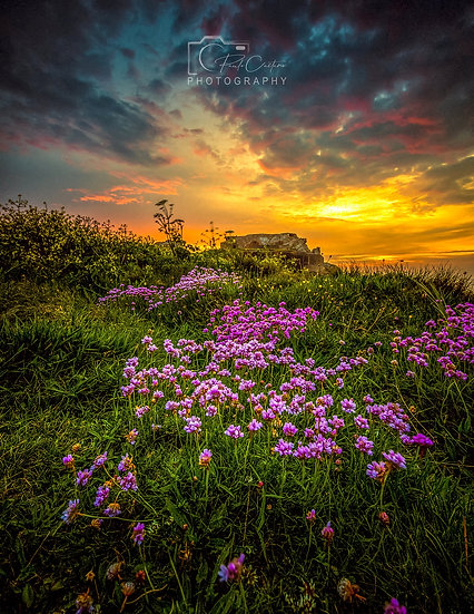 (Rolled) Pinks & Gold at Fort Hommet - Guernsey (PCP1029)