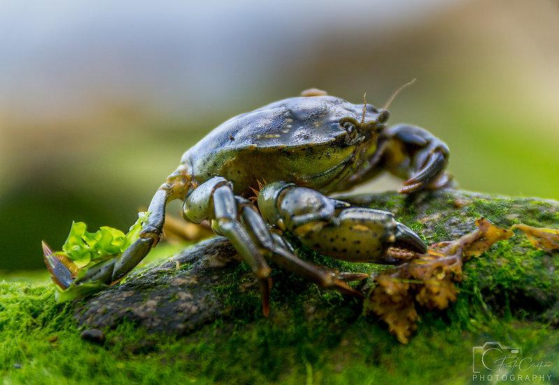 (Rolled) Shore Crab (DSC06577)