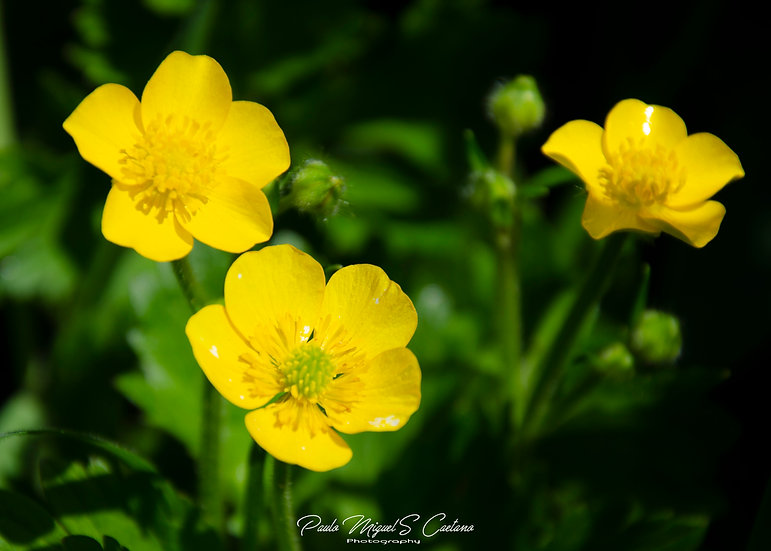 (Photo Framed) Three Little Buttercups (PMC1496)