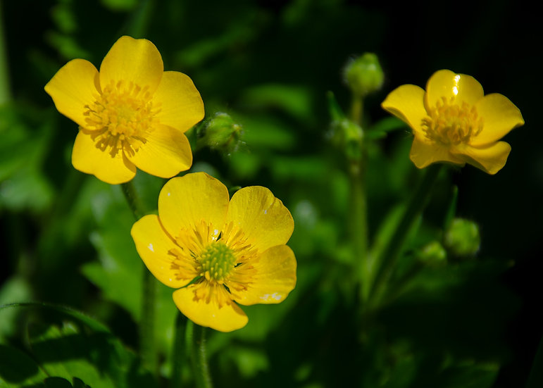 (Canvas) Three Little Buttercups (PMC1496)