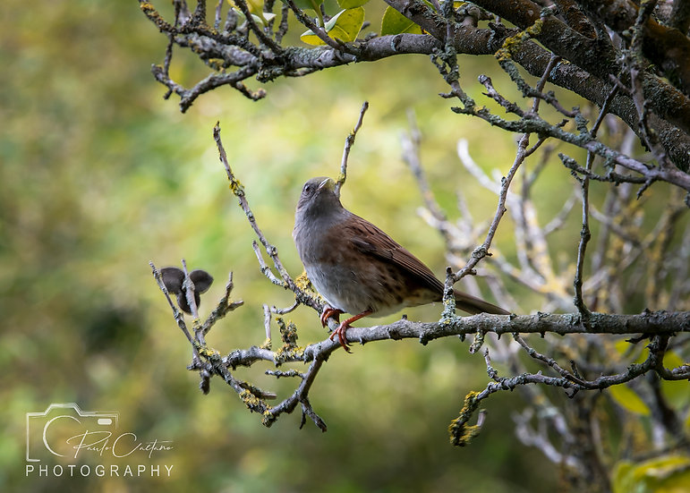 (Canvas) A Guernsey Sparrow in a Guernsey Tree (PCP7793)