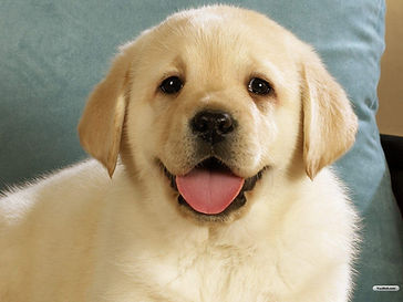 Lab Puppy dogWIE Student
