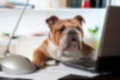 Canva - English Bulldog in the office.jp