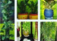 boa plants.PNG