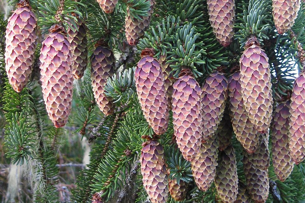 Spruce%2Btree%2Bcones%2BSoutheast%2BAlas