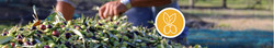 bandeau olives