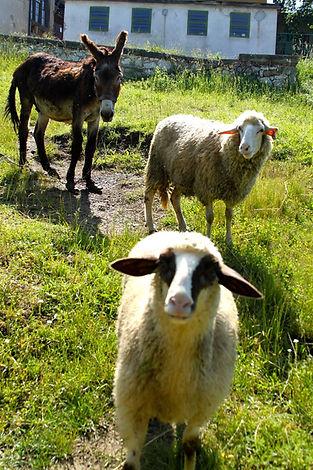 LAR sheep