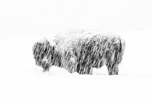 "This photograph of a lone bison during a snowstorm in Yellowstone National Park won Max Waugh the ""black and white"" category. He slowed his shutter speed to blur the snow and made his image black and white to accentuate the stark simplicity of the scene."