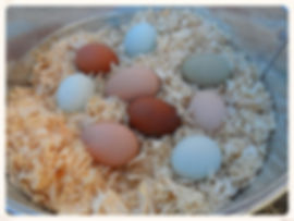 Black Copper Marans, Ameraucana, Olive egger, rainbow hatching eggs