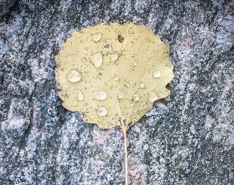 Blad i regn 1.jpg