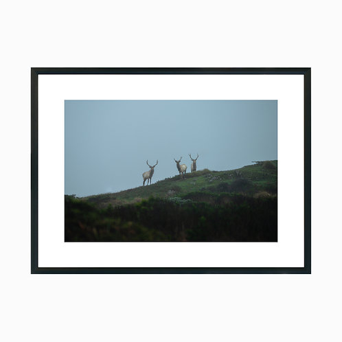 Lost Elks at Tomales Point