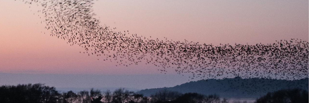 Birds flocking in display of flight as one super organism against the sunset backdrop