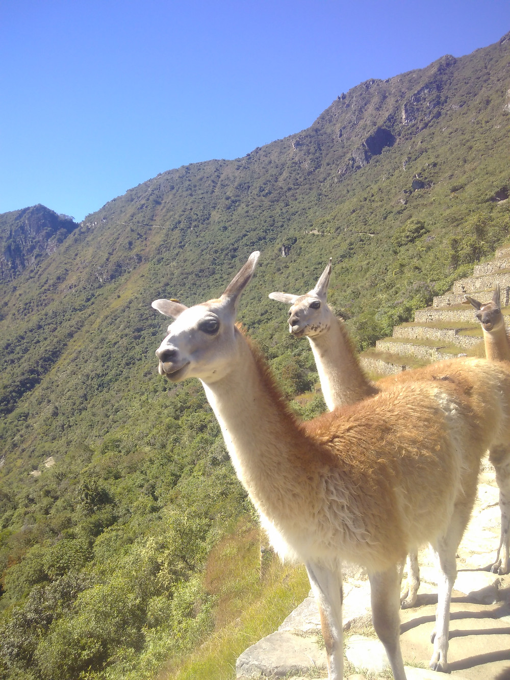 Llamas peering at the camera at Machu Picchu, Peru