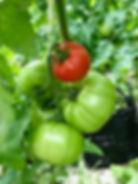 Tomato plant REP.jpg