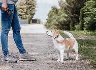 Hundemarke Hundeschule Beagle schaut zum Menschen hoch