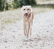 Hundemarke Hundeschule Windhund läuft in Richtung der Kamera