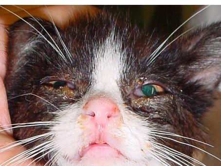 FHI Feline Herpes Virus Enfeksiyonu