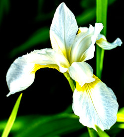 White Lily with little ellow copy