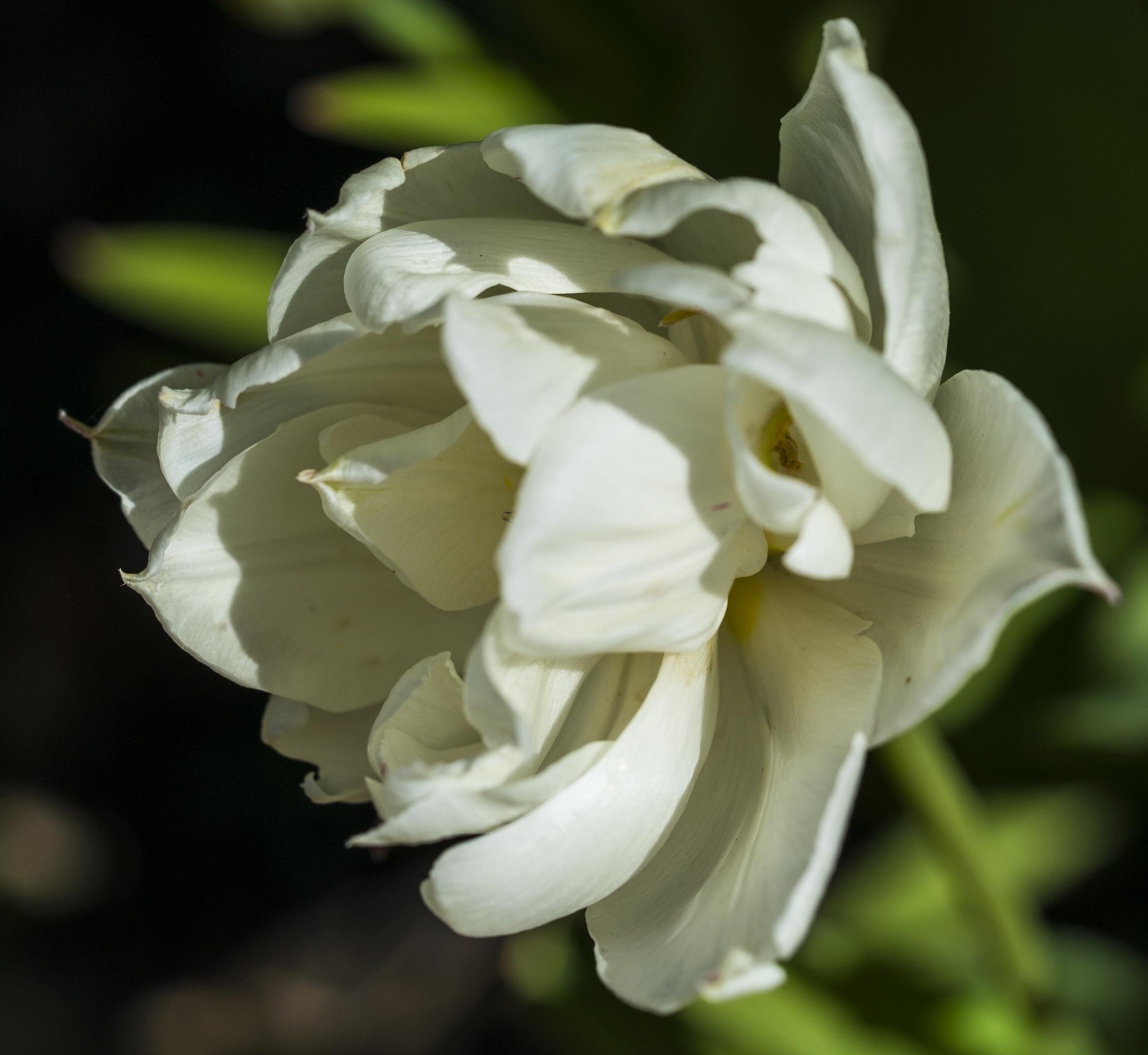 White Tulip copy