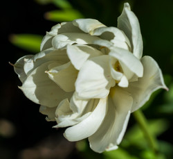 White Tulip copy