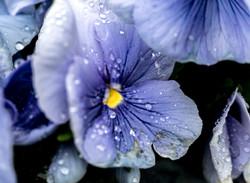 Blue Pansy 2