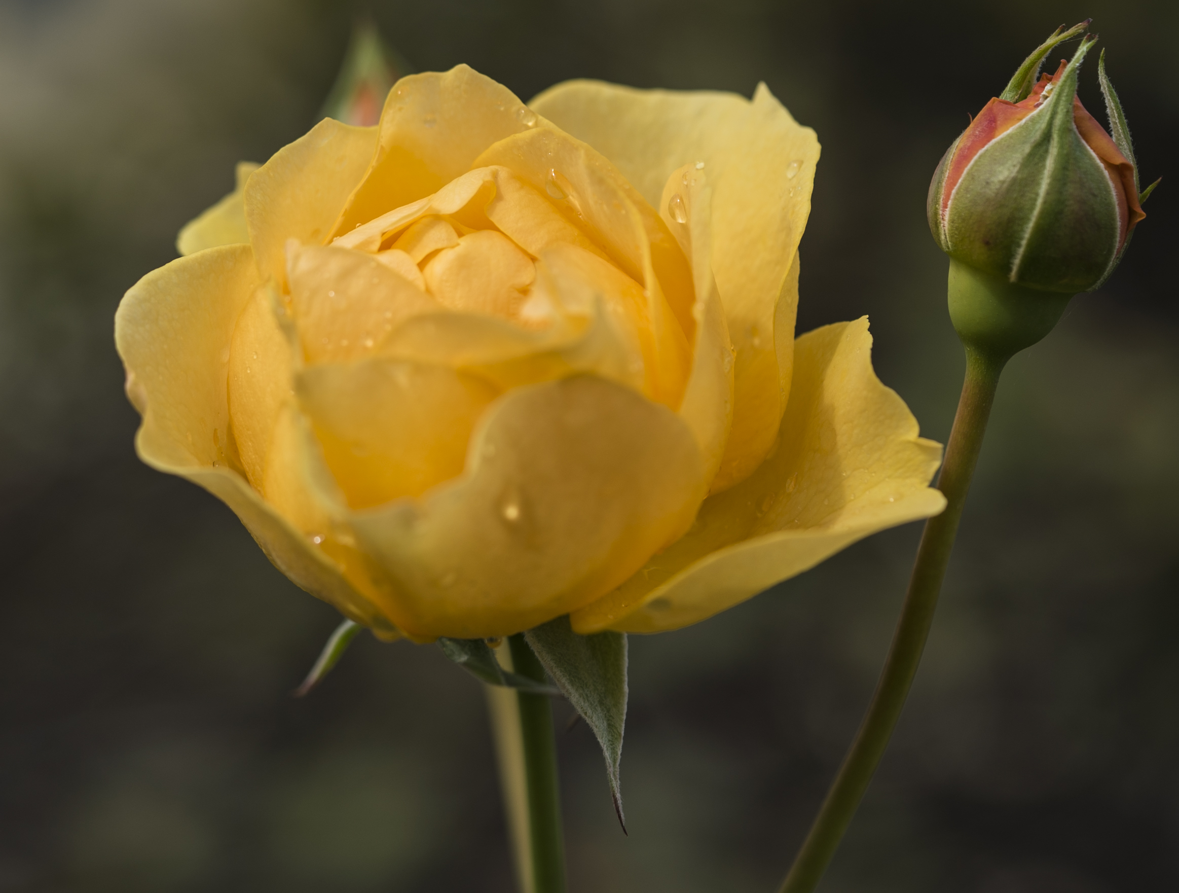 Yellow Rose copy (1)