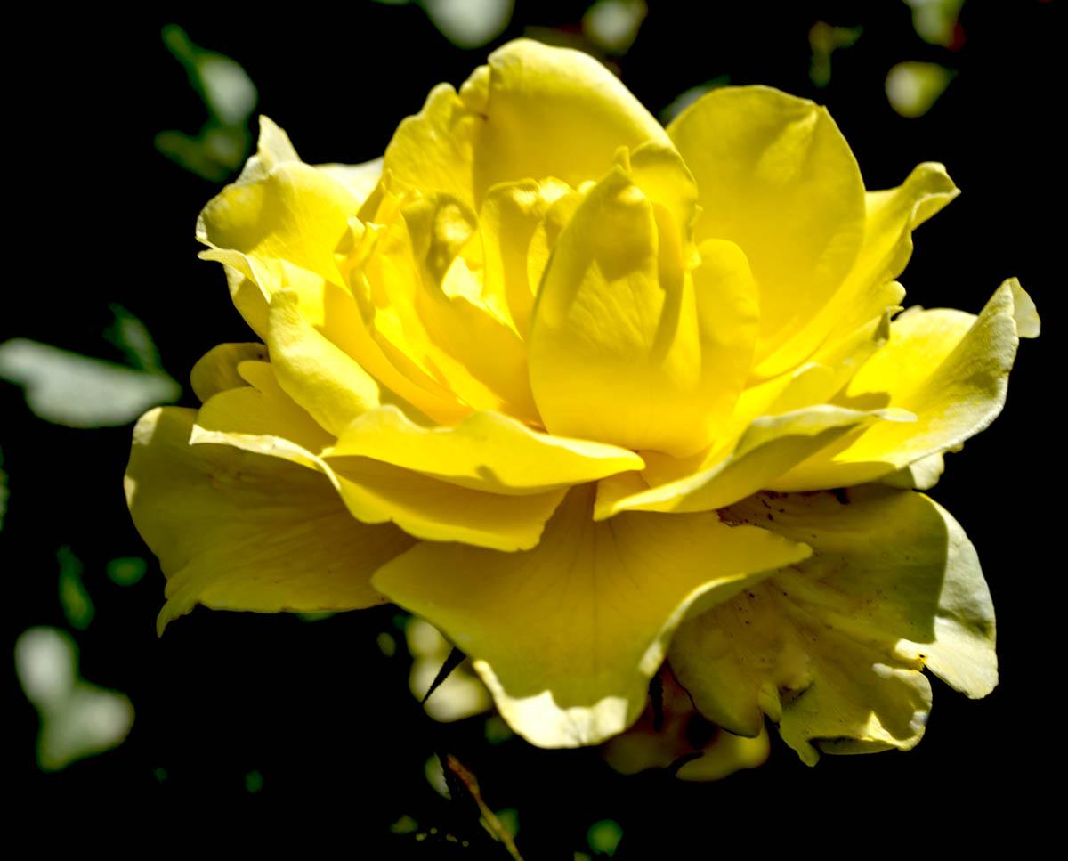Yellow Rose copy copy