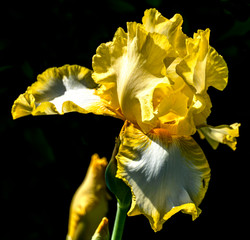 Yellow Lily 1