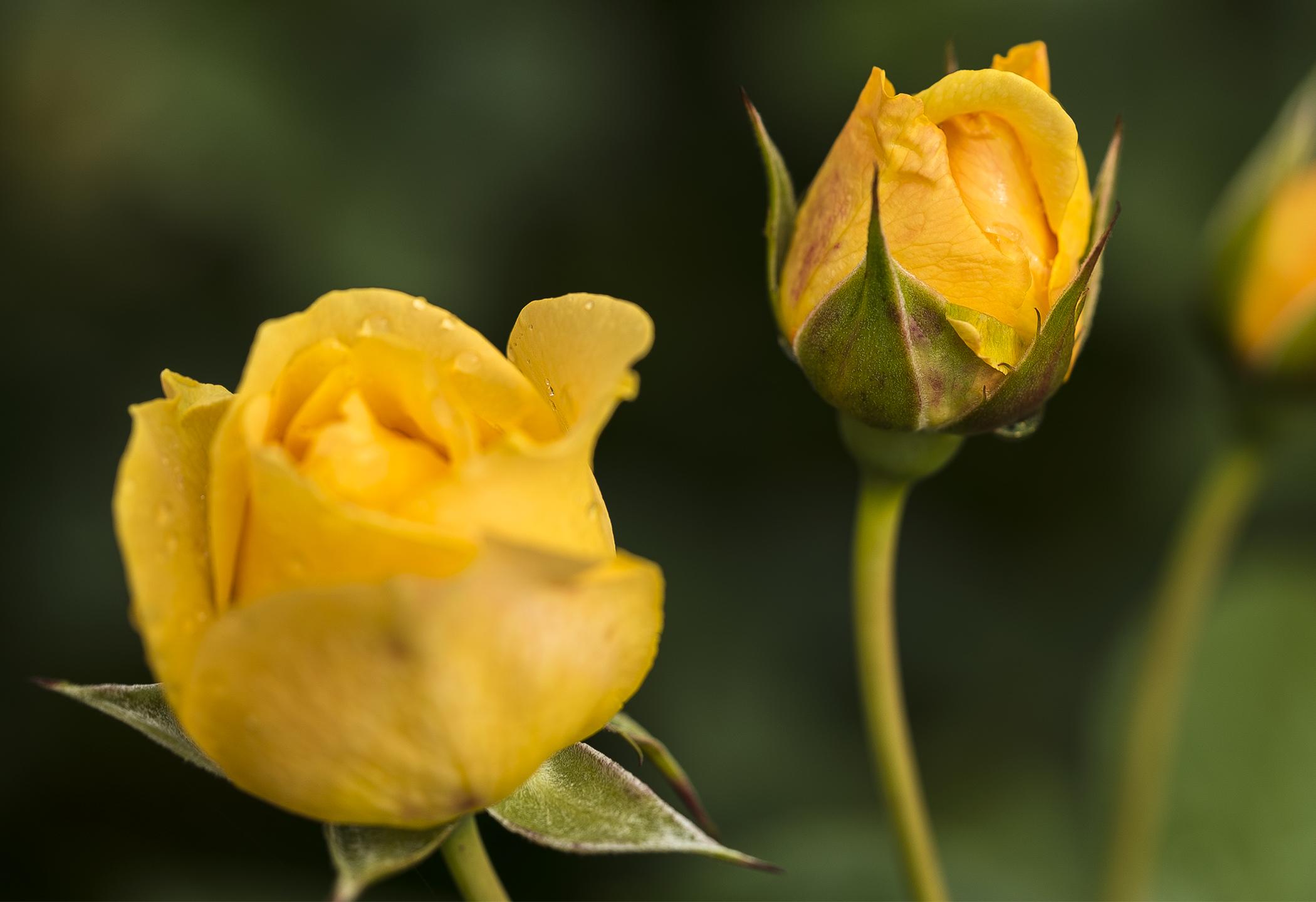 Three Yellow Roses copy