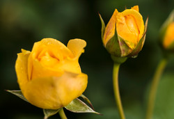 Three Yellow Roses copy