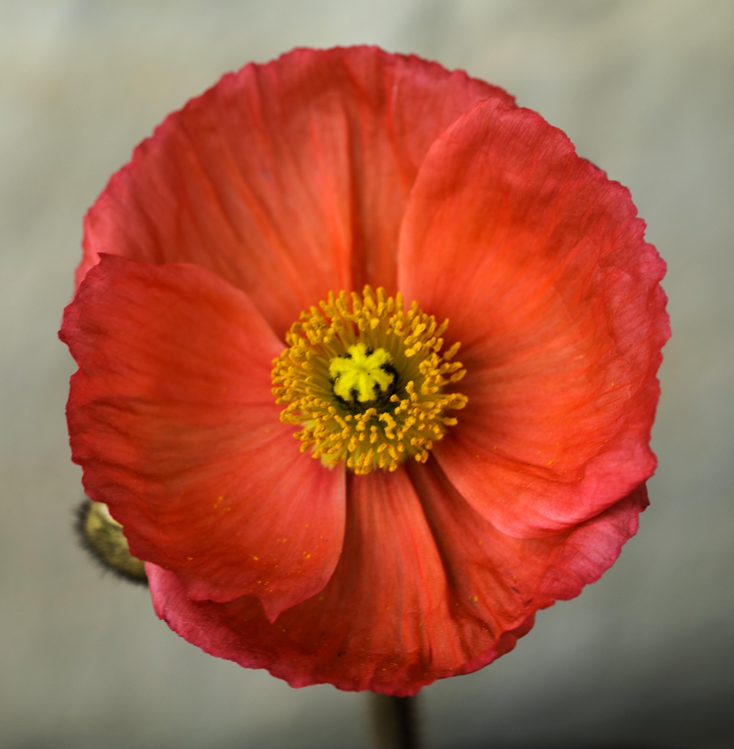 Poppy 1 copy