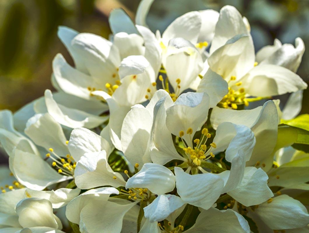 White Blossoms 2