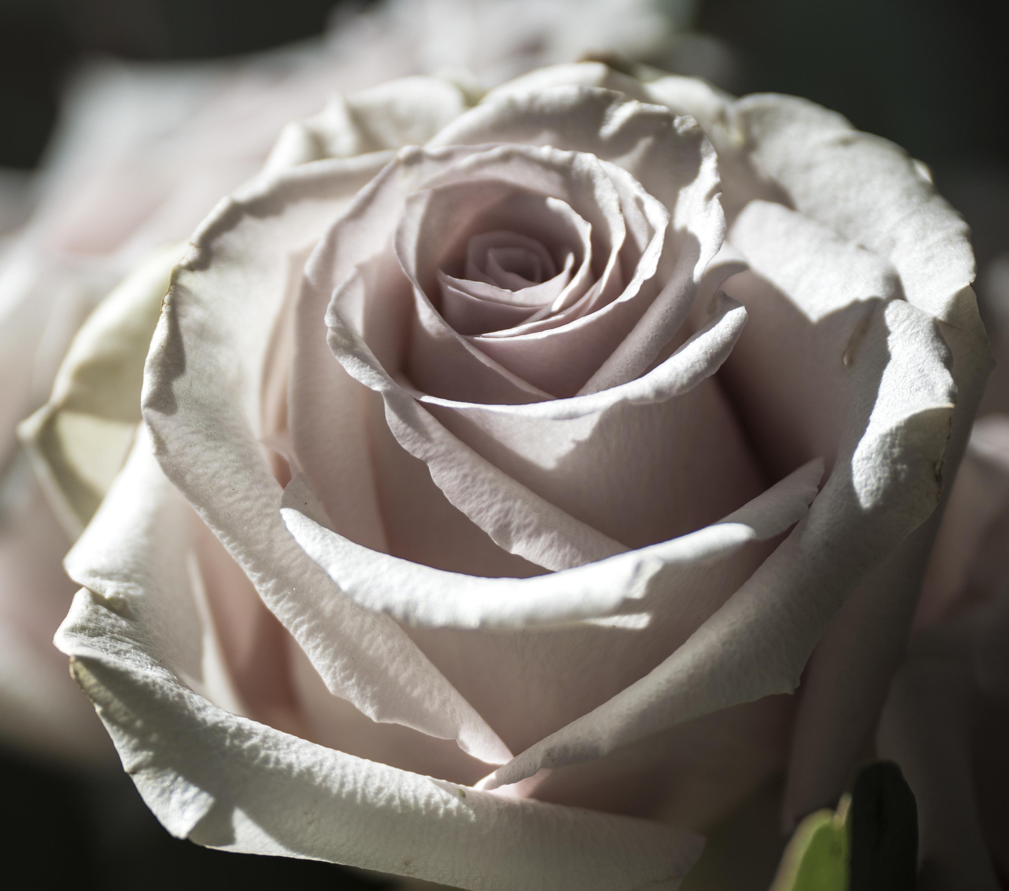 White Rose 3 copy