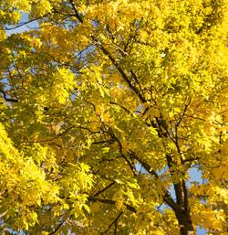 Fall Tree 1 (4X4)
