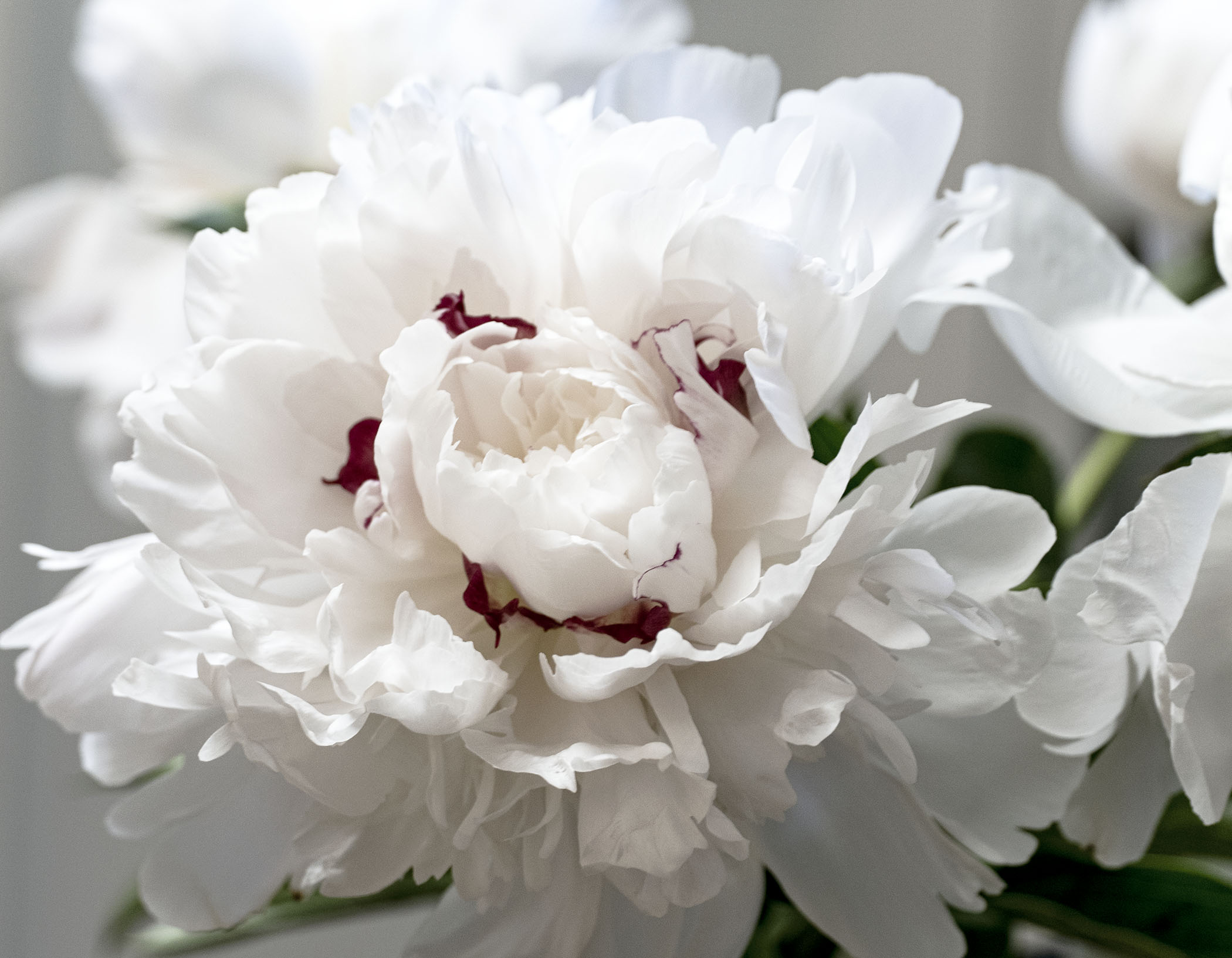 White Peony with red 2 copy