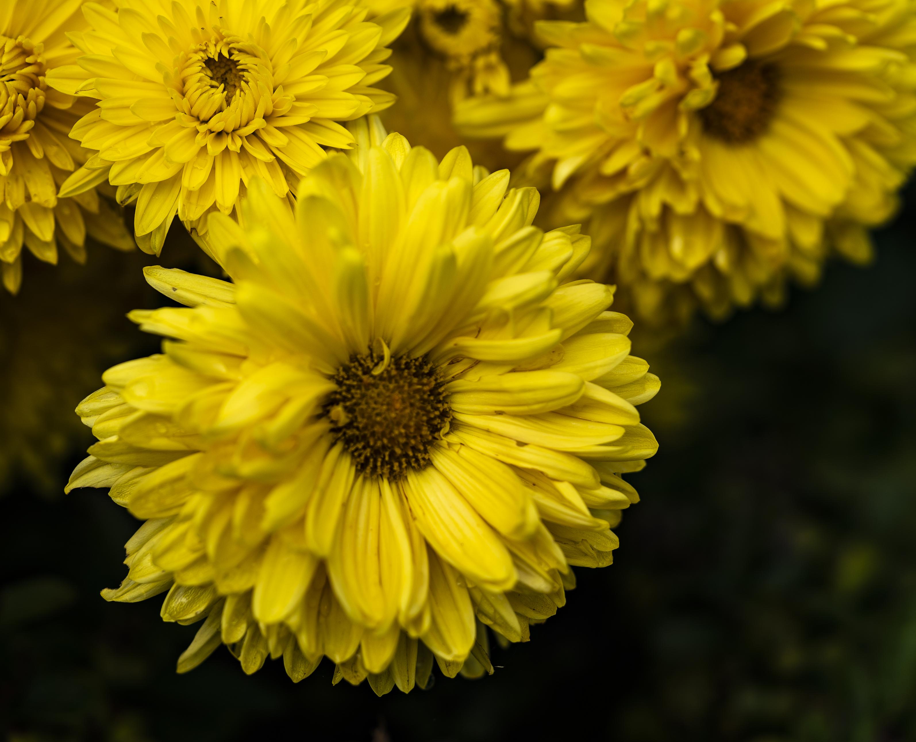 Yellow Daisy copy