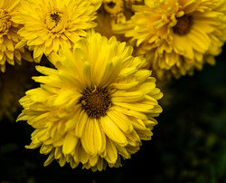 Yellow Daisy copy