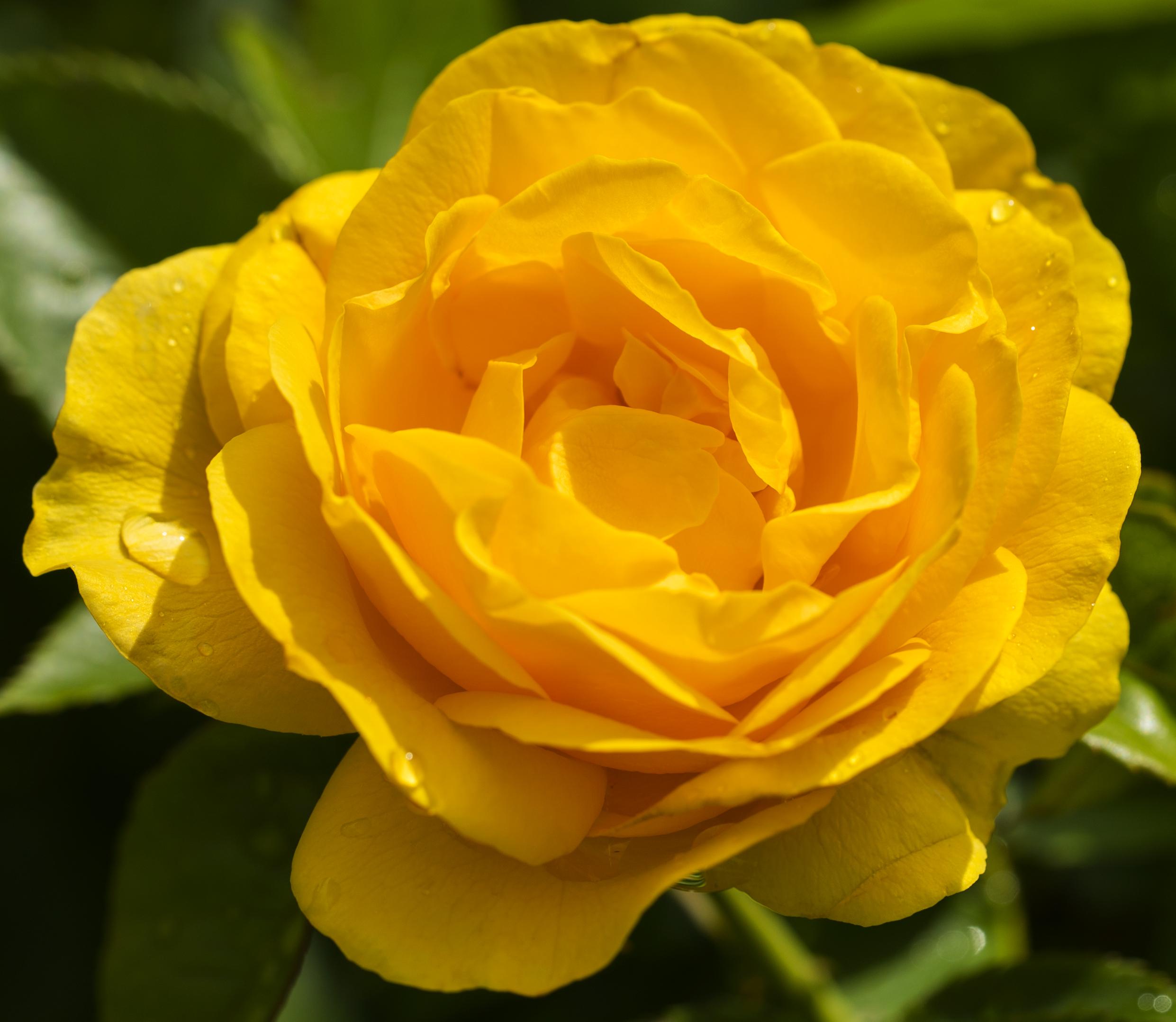 Yello Rose copy
