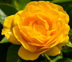 Yello Rose copy