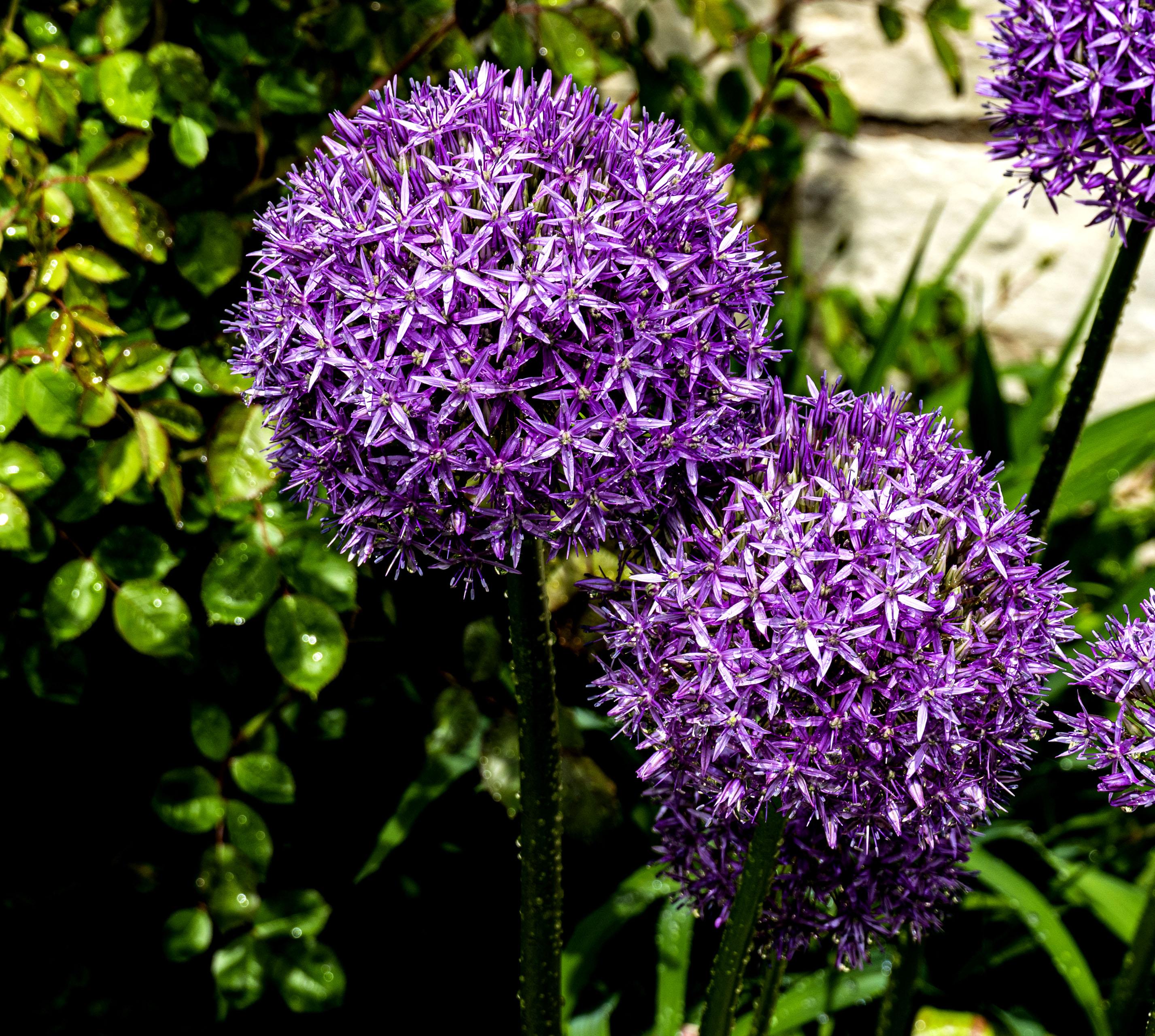 Purple balls copy