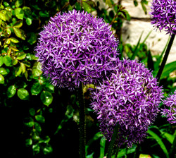 Purple balls copy