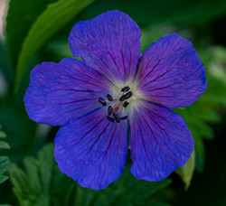 Flat bluish flower copy