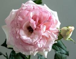 Pink Rose 1 copy