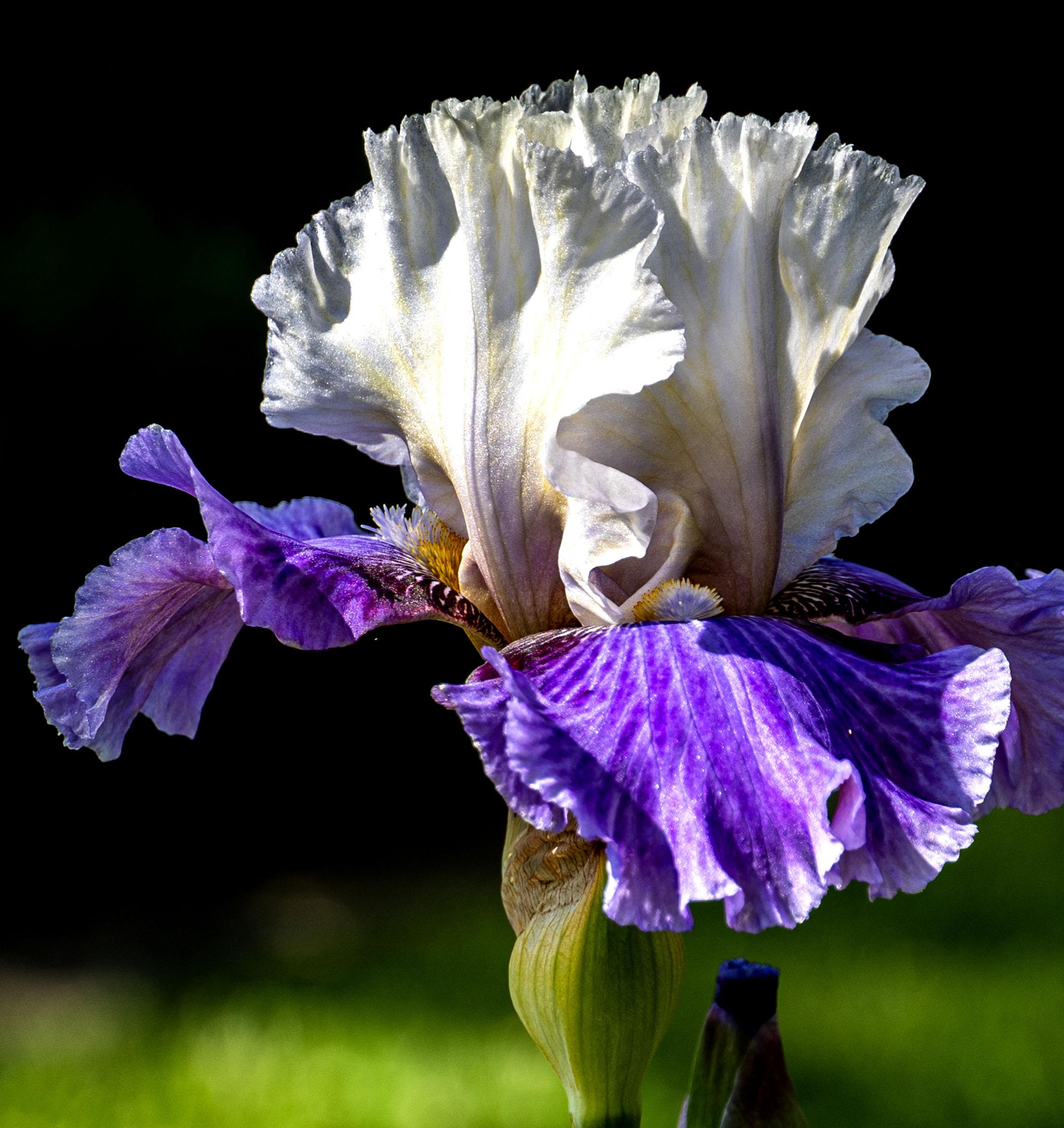 Lily white & Purple