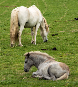 Two horses copy