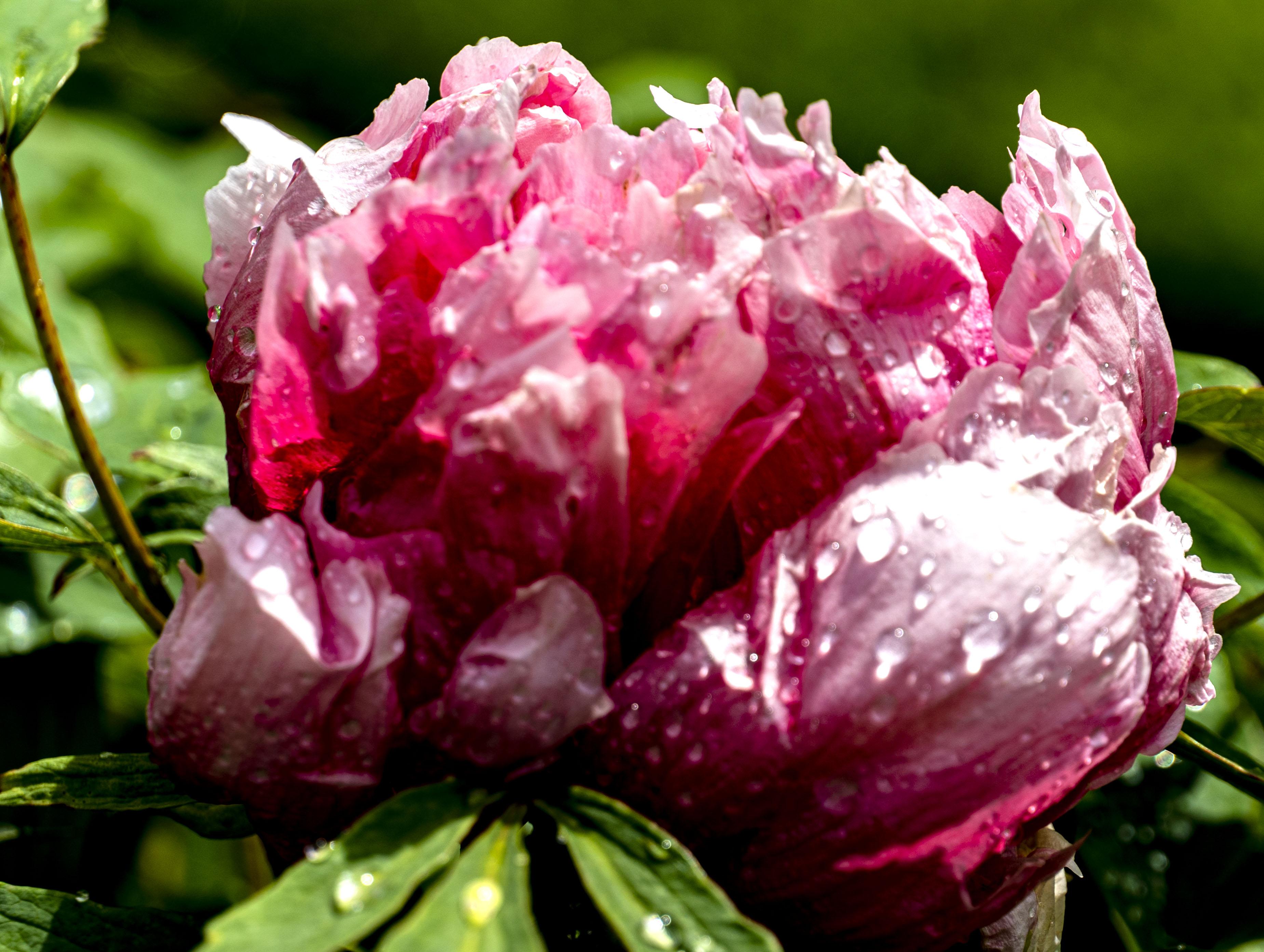 Wet pinkish Peony copy