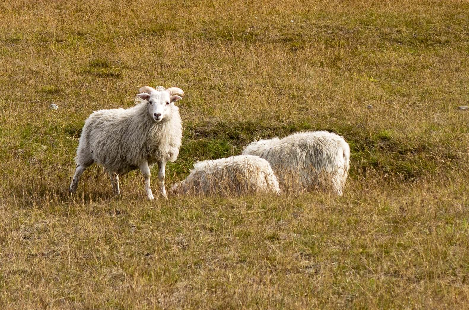 Sheep copy